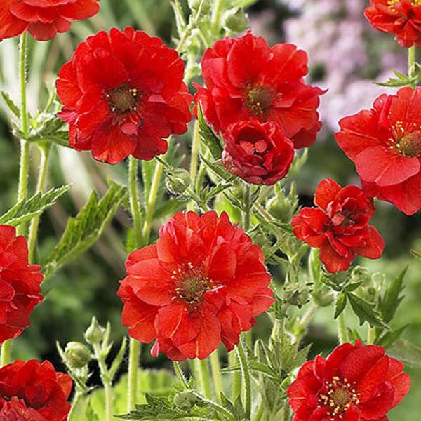 Фото цветка гравилат чилийский