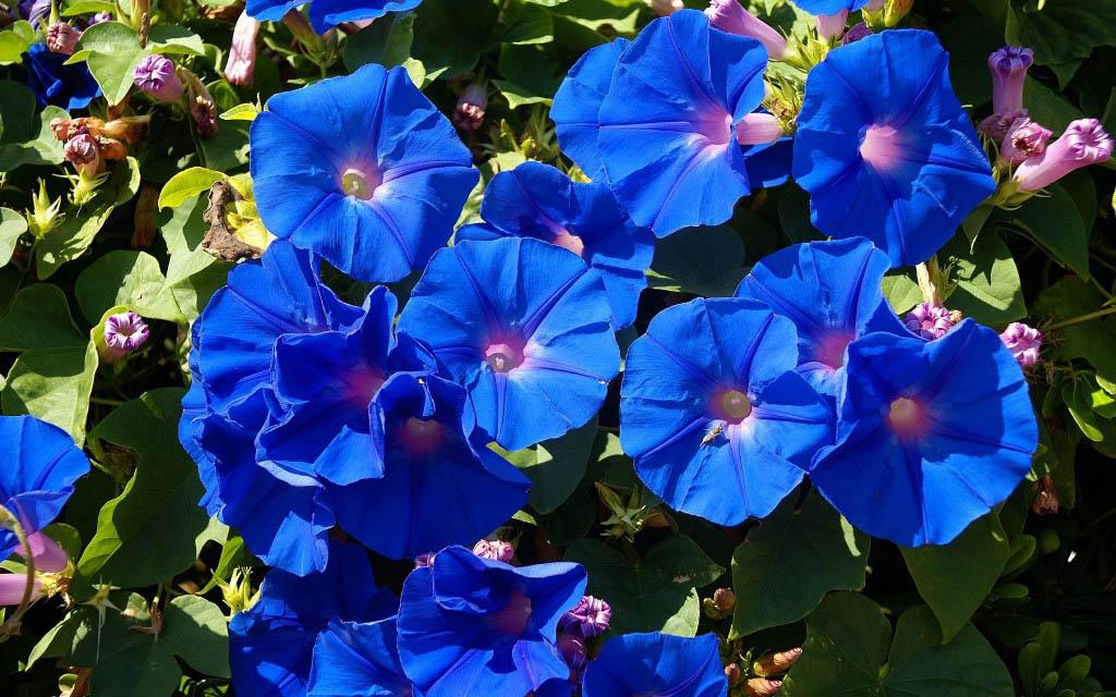 вьюны садовые фото и названия